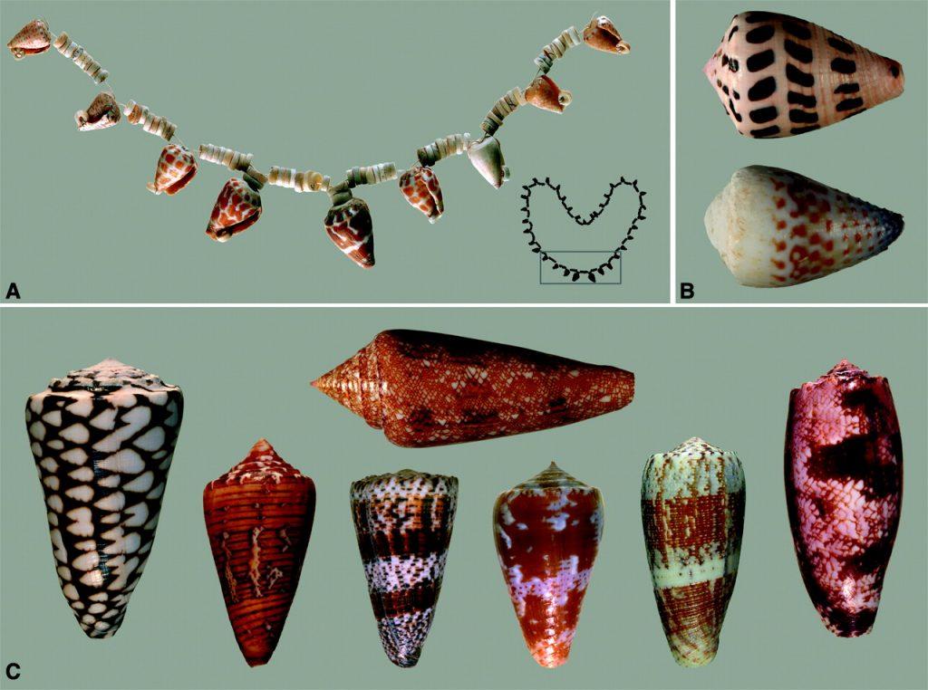 Cone Snail Shells