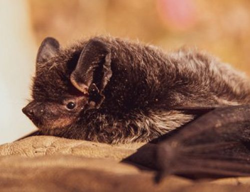 A 'Vampire' Fungus has Killed Millions of Bats Since 2006. Here's Why it Matters