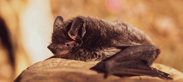 Bats white nose syndrome