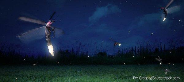 Firefly bioluminescence science