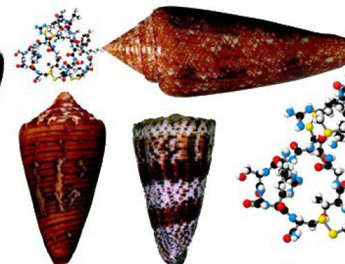 Ziconotide-Cone Snail Venom Analgesic More Potent Than Morphine